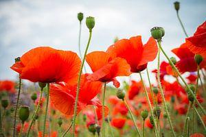 Poppies. sur Nicole van As