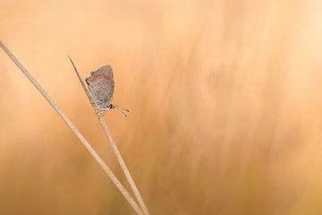 Feuer Schmetterling von Lia Hulsbeek Brinkman