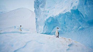 De arctische witte aalscholver als heren van stand van Eric de Haan