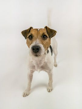 Kwispelende Parson Russel Terrier van Moniek van Rijbroek