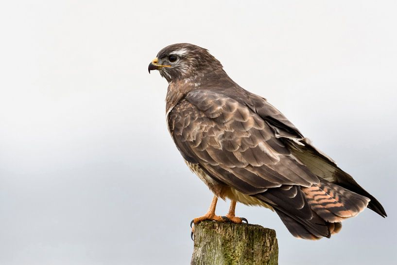 Common Buzzard ( Buteo buteo ) in winter, perched on a fence post van wunderbare Erde