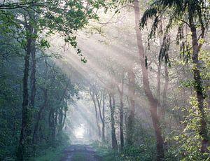 Zonnestralen in bos van