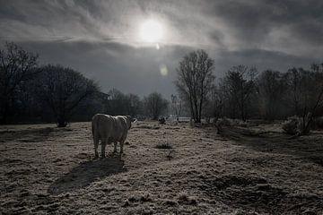 Kuh im Morgenlicht von Marjon Birza