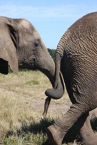 Olifanten verbintenis