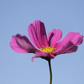 Roze Cosmea bloem in de blauwe lucht van Cora Unk