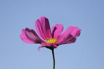 Roze Cosmea bloem in de blauwe lucht von Cora Unk