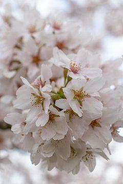 Kirschblüte von Mark van Harlingen