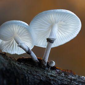 Porseleinzwammen in het bos van Ralf Köhnke