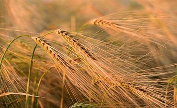 Gerst in het veld in de zomer van Ulrike Leone