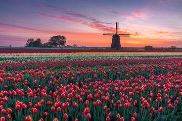 Molen en tulpen sur Dick van Duijn