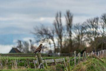 Texel Landschap - Buizerd van Texel360Fotografie Richard Heerschap