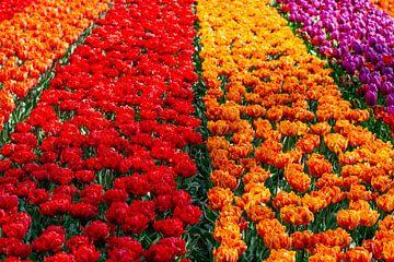 Tulpen in leuchtenden Farben von Anne Ponsen