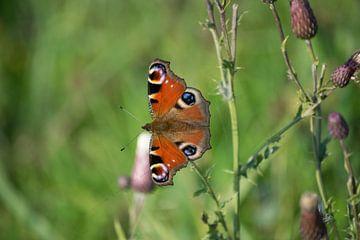 Dagpauwoog - Vlinder van Kimberly Zanting