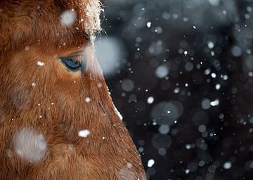 Snowflakes von Islandpferde  | IJslandse paarden
