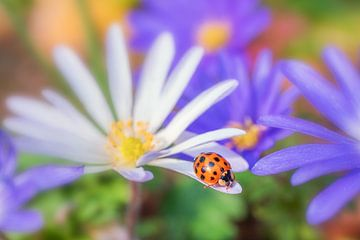 Lieveheersbeestje van Friedhelm Peters