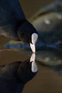Black Coot *Fulica atra* van wunderbare Erde