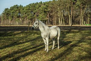 Het grijze paard heeft zijn oren opgezet