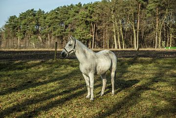 Het grijze paard heeft zijn oren opgezet van Norbert Sülzner