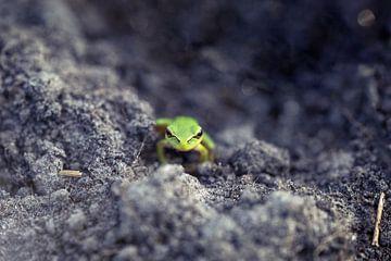 boomkikkertje in de zand von Kristof Ven