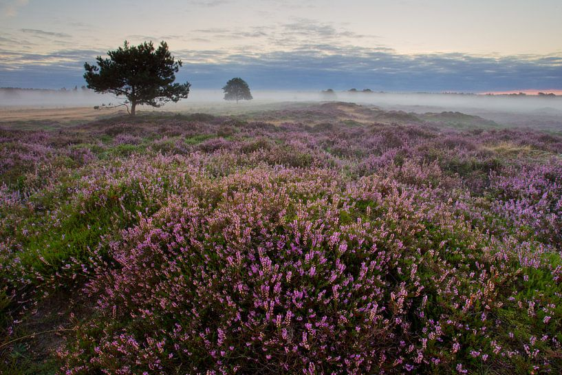 Heide in bloei van Mark van der Walle