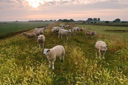 Schafen auf Texel