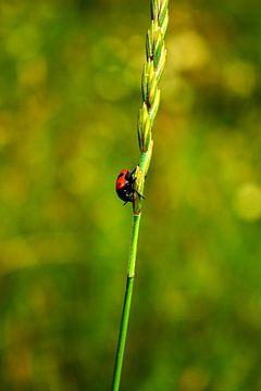 Lieveheersbeestje op groen van
