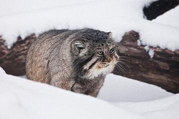 zit ontevreden in de sneeuw. Ernstige, wrede, pluizige, wilde kattenmanoeuvre op witte sneeuw. van Michael Semenov