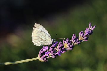 Witte vlinder op takje paarse lavendel van Jacqueline Holman