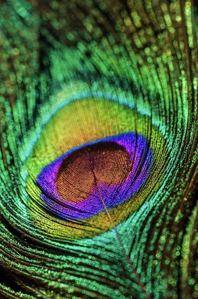 Peacock van Steffen Gierok
