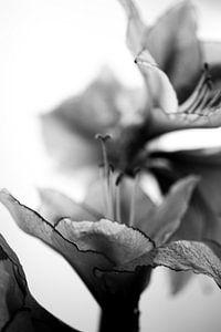 Amarylissen geschulpte rand zwart wit stilleven van