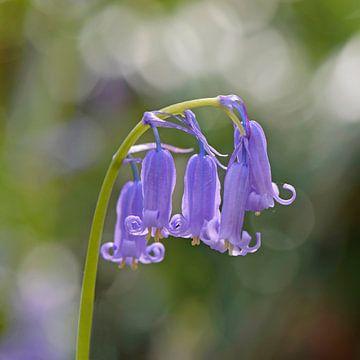 Wilde hyacint van Barbara Brolsma