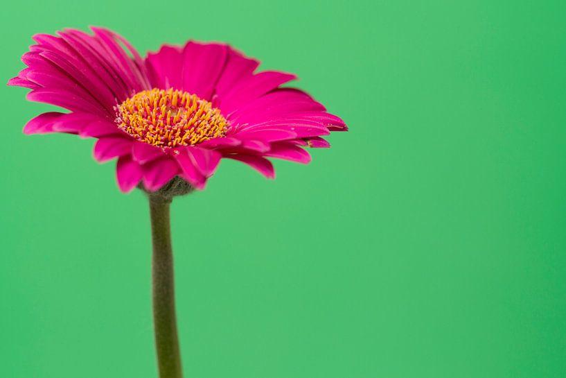 Roze Gerbera van Kimberly van Aalten