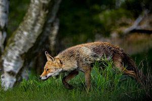 Schleichender Fuchs im Gras von bryan van willigen