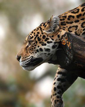 Femelle Jaguar sur Patrick van Bakkum