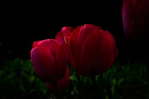 Rode tulpen in volle pracht