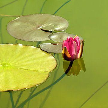 Waterlelies van Violetta Honkisz