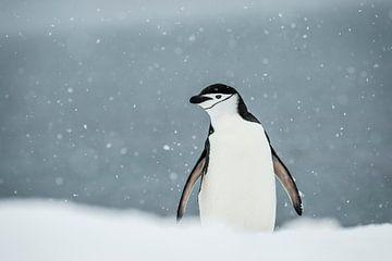 LP 71126425 Kinband pinguïn op Antarctica van BeeldigBeeld Food & Lifestyle