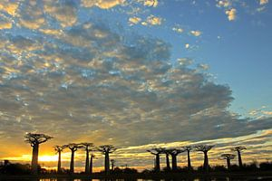 Baobab's bij zonsondergang