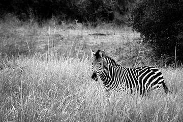 Africa: Grassland Zebra  von Jonathan Rusch