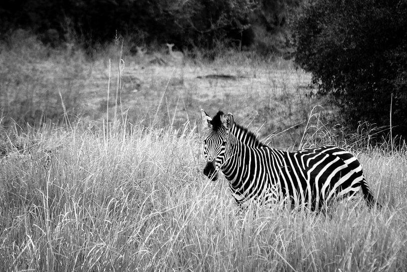 Africa: Grassland Zebra  van Jonathan Rusch