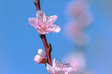 Frühlingsgefühle mit Blüte von Caroline Drijber