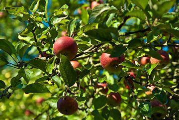Les pommes dans l'arbre sur Norbert Sülzner