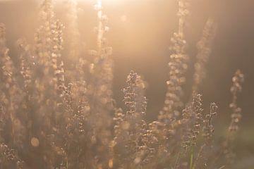 la lande dans la lumière du matin sur Tania Perneel