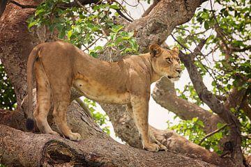 Boomklimmende leeuw in Ishasha, Oeganda