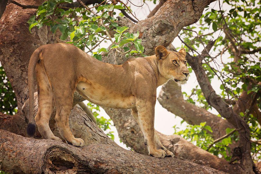 Boomklimmende leeuw in Ishasha, Oeganda van Robert van Hall