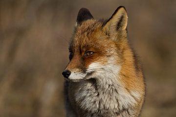 een andere portretfoto van de vos van Wesley Klijnstra