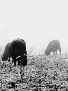 Schotse hooglanders in de mist