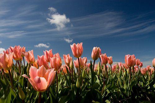 Roze tulpen