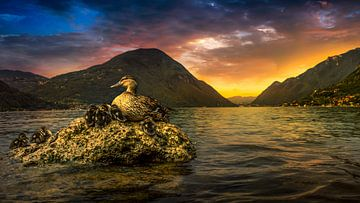 ducks at lake lugano sur Rubin Versigny