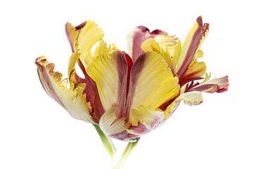 Tulip - aus der Tulip-Serie Suur von Marja Suur